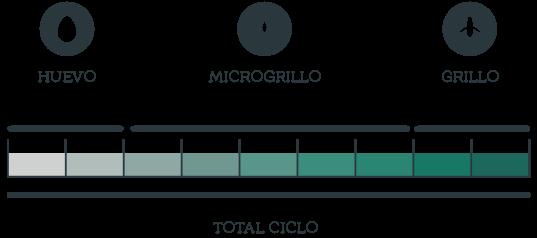 Ciclo de vida gryllus assimilis