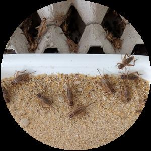 incluir tenebrio en granja de insectos