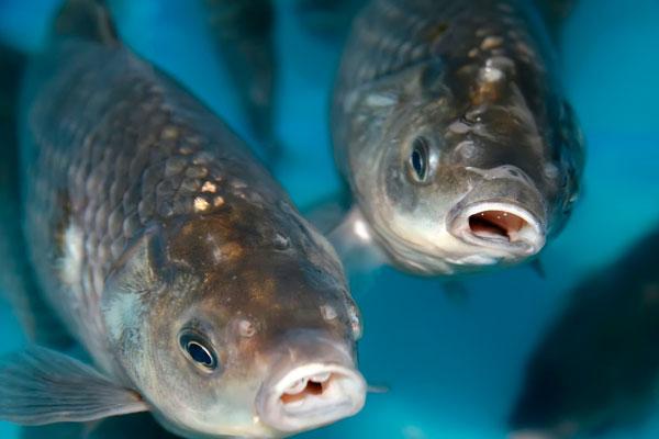 alimentacion de peces acuicultura